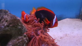 View of red sea fish of strange shape among corals stock footage