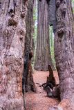 View of Redwood Trees. In Humboldt Redwoods State Park in California stock photos