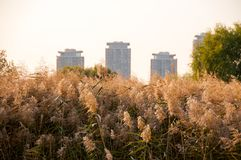 View of reed spikelets against the city buildings Stock Images