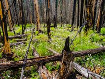 View of Regrowth in Burnt Forest Royalty Free Stock Photo