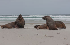 View of the relaxing sea lion on the beach in New Zealand Stock Photography