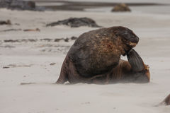 View of the relaxing sea lion on the beach in New Zealand Stock Image
