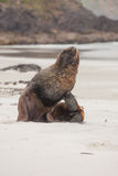 View of the relaxing sea lion on the beach in New Zealand Stock Images