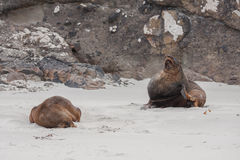 View of the relaxing sea lions on the beach in New Zealand Stock Image