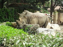 View of a rhinoceros. Drinking in its fence of protection from people in a zoo Royalty Free Stock Images
