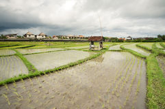 Rice field. Bali, Indonesia Stock Images
