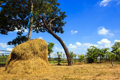 View of rice field with blue sky in rural Royalty Free Stock Photography