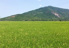 View of the rice field with mountain in Phu Yen, Vietnam Royalty Free Stock Image