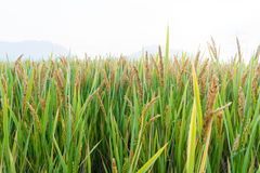 View Of Rice Field under blue sky Royalty Free Stock Images