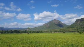 View of rice fields in agricultural areas with rice fields and mountainous backdrops royalty free stock photo