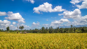 View of rice fields in Bali Royalty Free Stock Images