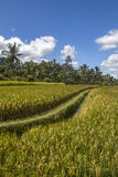 View of rice fields in Bali Royalty Free Stock Photo