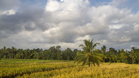View of rice fields in Bali Stock Photos