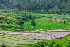 Beautiful rice fields, Tegal regency, indonesia. The view of the rice fields is so beautiful, fresh and cool seen during the planting season, tegal district royalty free stock photography