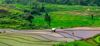 Beautiful rice fields, Tegal regency, indonesia. The view of the rice fields is so beautiful, fresh and cool seen during the planting season, tegal district stock images