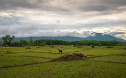 View Rice fields. View of Rice fields with buffalo and mountain background Stock Photography