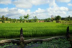 A view of rice fields stock photo