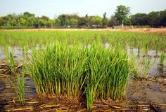 View of a Rice Paddy Field Royalty Free Stock Photo