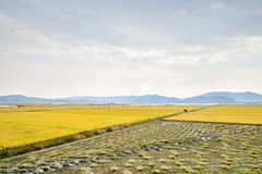 View of rice plant farm Royalty Free Stock Photo
