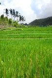 View on rice terraces, Bali, Indonesia. Landscape Royalty Free Stock Image