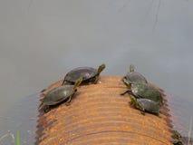 Turtles. Tortoise having sun bath stock photos