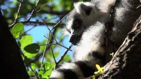 Ring tailed Lemur glances around. View of ring tailed Lemur glancing around stock footage