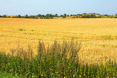 View of ripe corn field Royalty Free Stock Photo