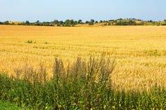 View of ripe corn field Royalty Free Stock Photo