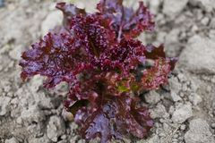 A view of ripe red lettuce ready for cultivation Royalty Free Stock Photography