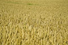 Close-up view of ripe wheat ears Royalty Free Stock Photos