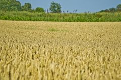Close-up view of ripe wheat ears Royalty Free Stock Photo
