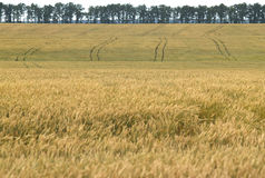 View of a ripe wheat field. Summer Royalty Free Stock Image