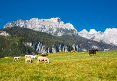 Mountain landscape with sheep and goats. View on rock formation. A flock of sheep and goats grazing in the valley. the sky is blue. There is a fresh grass in a Stock Images