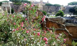 View of the Roman forum and flowering tree. royalty free stock photos