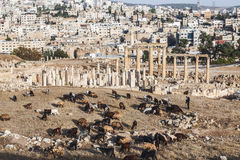 View of the Roman ruins in the Jordanian city of Jerash Gerasa of Antiquity with herd sheep in the foreground Royalty Free Stock Image