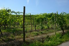 row of grapes with bunches and leaves in a vineyard in Neive royalty free stock image