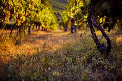 View of a row of vineyards. On a summer day royalty free stock photo