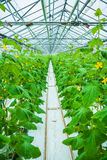 View on rows of cucumber plants in greenhouse Stock Photos