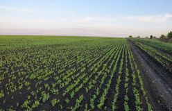 View of rows of green soy sprouts. royalty free stock photos