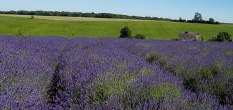 View of rows of lavender in a field on a flower farm in the Cotswolds, Worcestershire UK. View of lavender field on a flower farm in the Cotswolds, in Snowshill royalty free stock photography