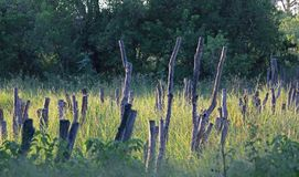 LIGHT ON WOODEN POSTS IN LONG GREEN GRASS. View of rows of remnant wooden posts left over from an old bridge stock image