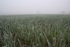 View of rozen grass on meadow Royalty Free Stock Images