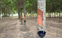 View of a rubber plantation in Thailand.  stock images