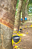 View of a rubber plantation Royalty Free Stock Images