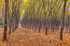 View of a rubber plantation Royalty Free Stock Photos