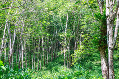View of a rubber plantation in Thailand Royalty Free Stock Images