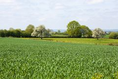 Normandy/France: A green field with young wheat plants and blooming fruit trees in the French countryside Royalty Free Stock Photography