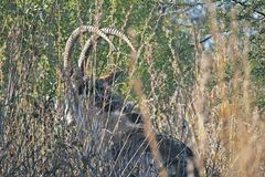 ARCHED HORNS OF A SABLE ANTELOPE. View of sable antelope obscured by vegetation and grass with long curved horns Stock Photos