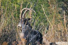 CURVED HORNS OF SABLE ANTELOPE BEHIND VEGETATION. View of sable antelope obscured by vegetation and grass with long curved horns Royalty Free Stock Photo