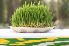 View of Sabzeh. Sprouted wheat germ symbolized rebirth for Nowruz celebration royalty free stock image
